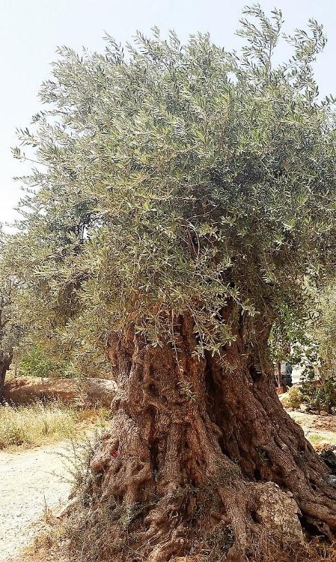old_olivetree