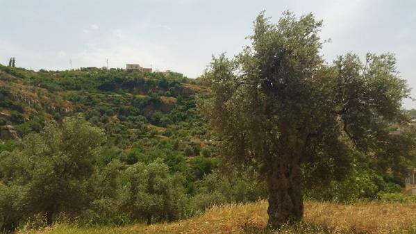 olive_tree_jordan