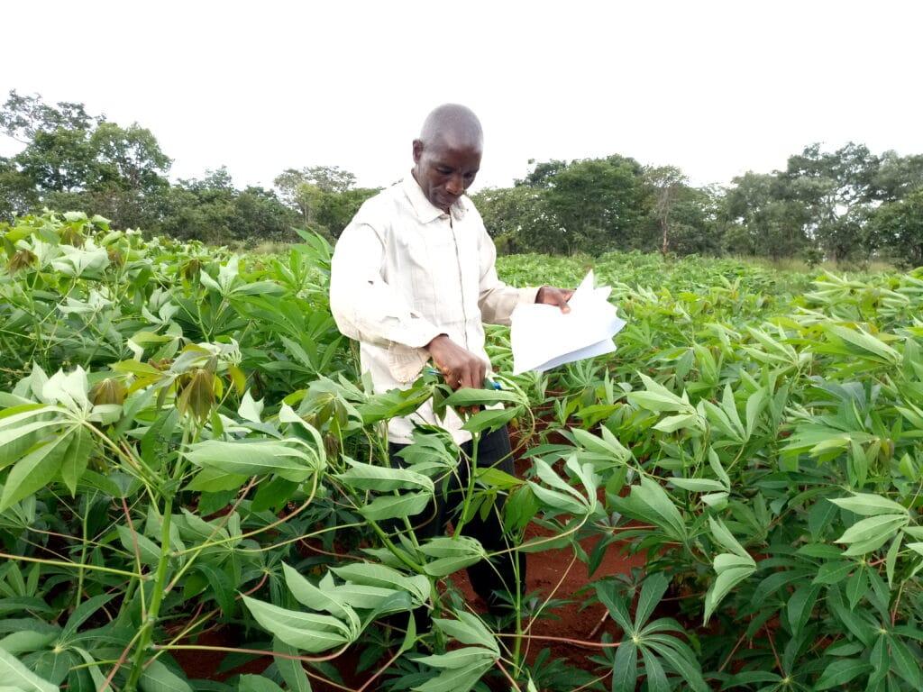 Scientist in Tanzania monitoring a field of cassava for disease